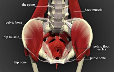 Aqui vemos a posição do Assoalho Pélvico dentro do quadril. O papel dessa musculatura é suportar os aumentos da pressão intraabdominal e manter em um posicionamento ideal os órgãos pélvicos, mantendo a continência.