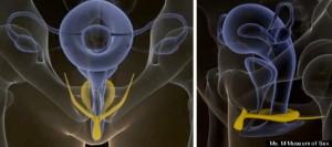 As dissecções indicam que os componentes do clitóris são em 3 D. O tecido bulbar erétil está intimamente relacionado com os outros componentes do clitóris e da uretra, e indica que ele tenha sido inadequadamente chamado de bulbo do vestíbulo. Para maior clareza e completude faz mais sentido se referir ao bulbo por sua relação constante com os componentes do clitóris e chamá-lo de bulbo do clitóris. Enquanto vasocongestão local do corpo cavernoso e do corpo esponjoso do pênis são  para produzir ereção masculina, o bulbo do vestíbulo que rodeia o introito, produz lubrificação vaginal e expansão que cria a plataforma orgásmica. Embora haja uma falta de investigação clínica exata para avaliar a função específica do tecido erétil bulbar, parece que este tecido provável tenha um papel significativo sexual. Uma hipótese é que o bulbo adicione um suporte para a parede vaginal distal para aumentar a sua rigidez durante a penetração. A uretra é intimamente relacionada com cada componente do clitóris, mas se ela tem um papel importante na atividade sexual é incerto.